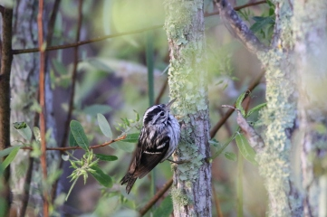 Black and white warbler, Anhinga Trail, Everglades National Park