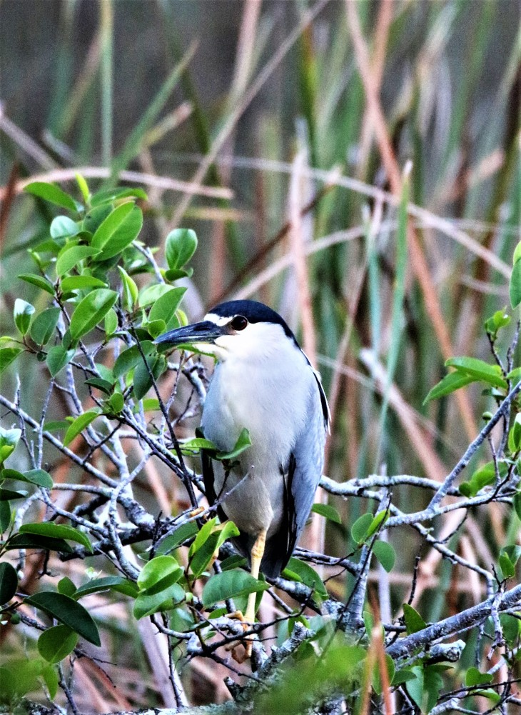 Black Crowned Night Heron2