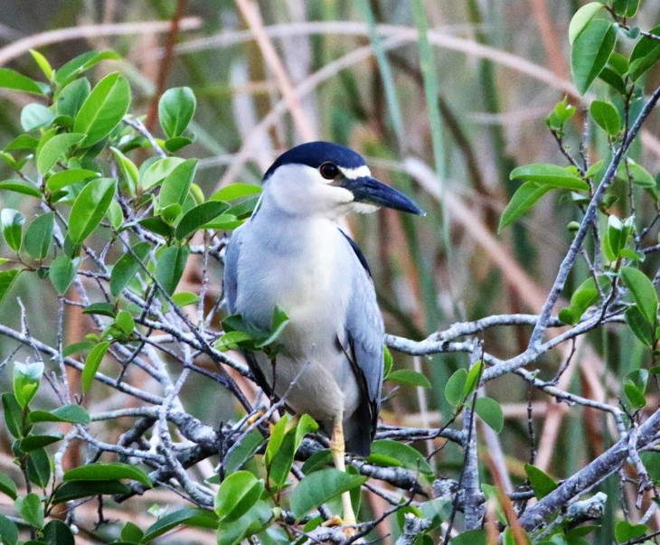 Black - Crownerd Night Heron