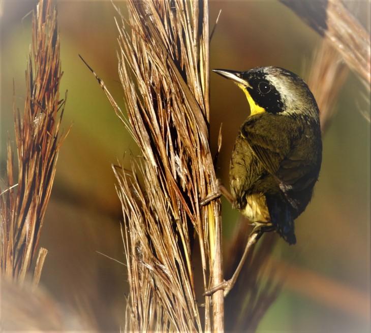 Common Yellowthroat on Grasses.JPG
