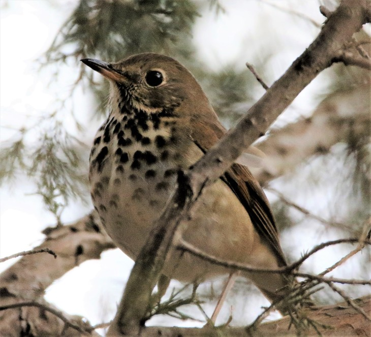 Hermit Thrush at Whitewater Memorial State Park, Lakeside Trail