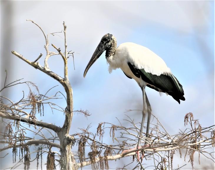 Wood Stork - Everglades (2)