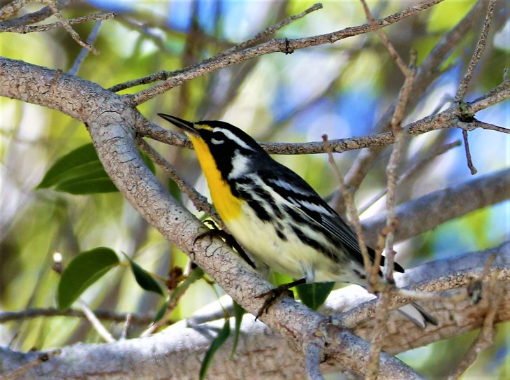 Yellow-throated warbler, Flamingo Bay, Everglades National Park