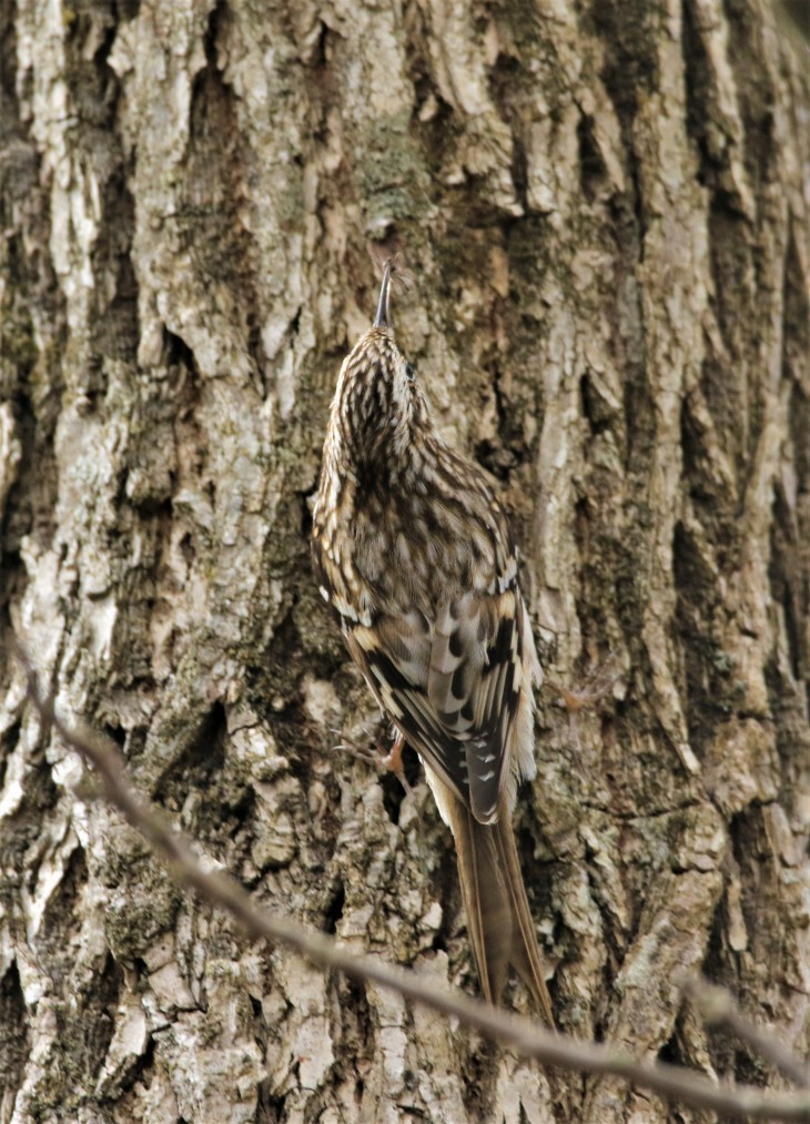 Brown Creeper3