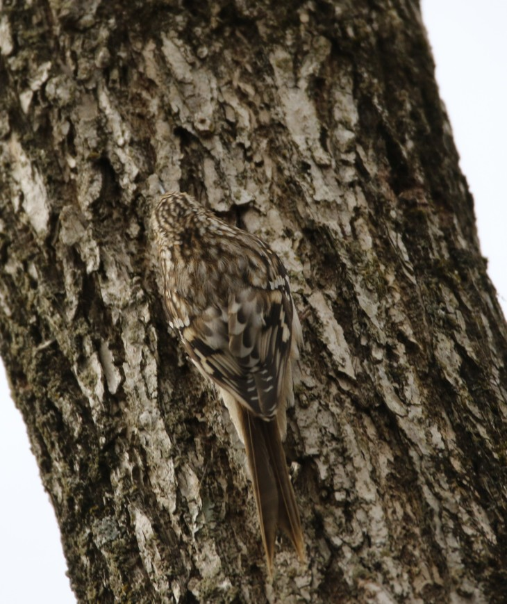 Brown Creeper7