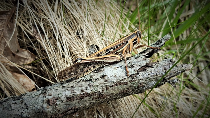 Grasshopper4