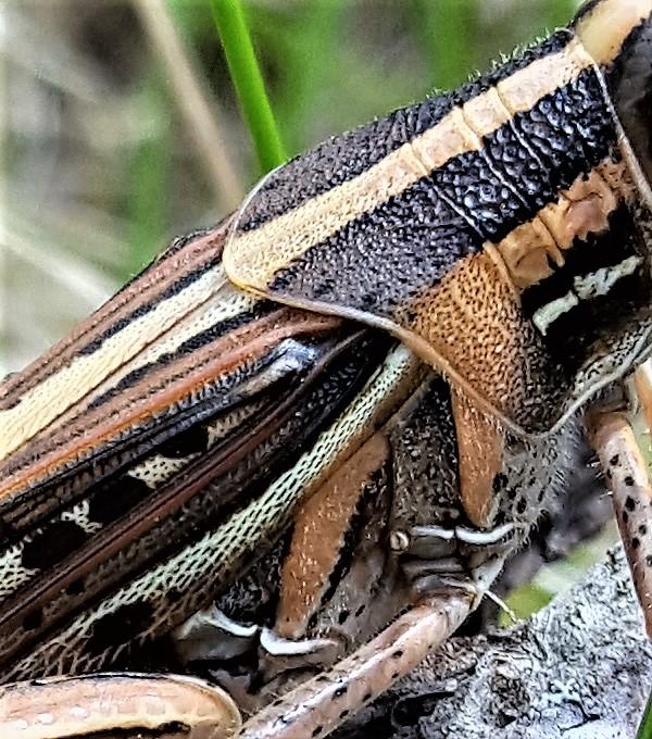 Grasshopper6