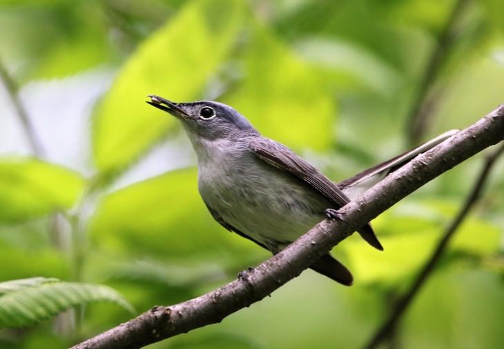Blue-Gray Gnatcatcher1
