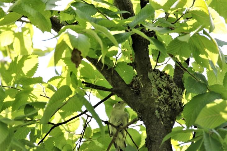 Blue Gray Knatcatcher at nest
